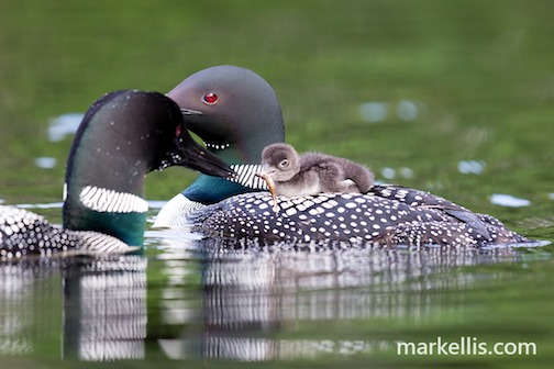 Baby's first feeding by Mark Ellis.