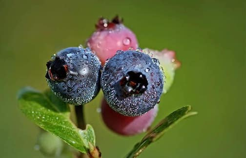 The Gunflint Trail's Biggest Blueberry Contest starts on Friday and runs through Aug. 11.