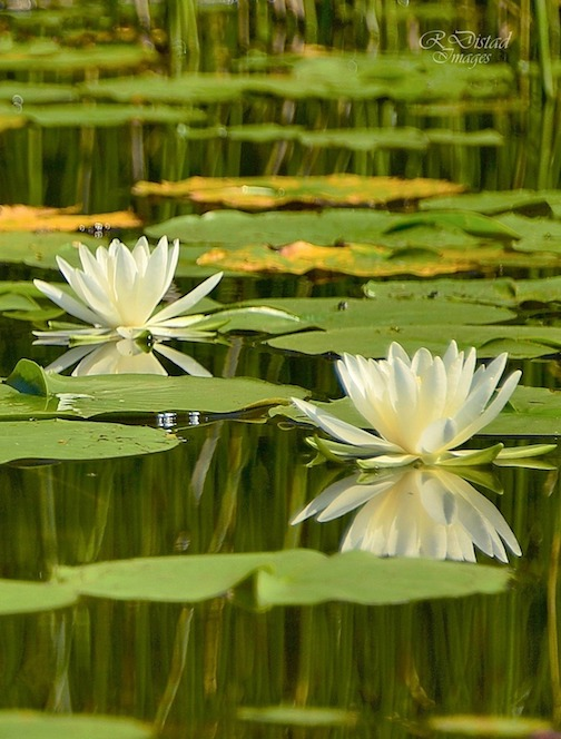 Waterlily reflections by Roxanne Distad.