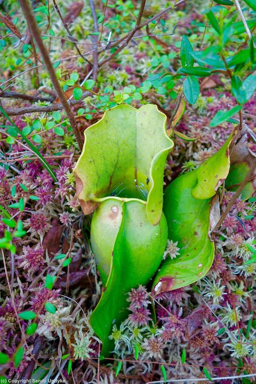 Pitcher plant in the bog by Sandra Updyke.