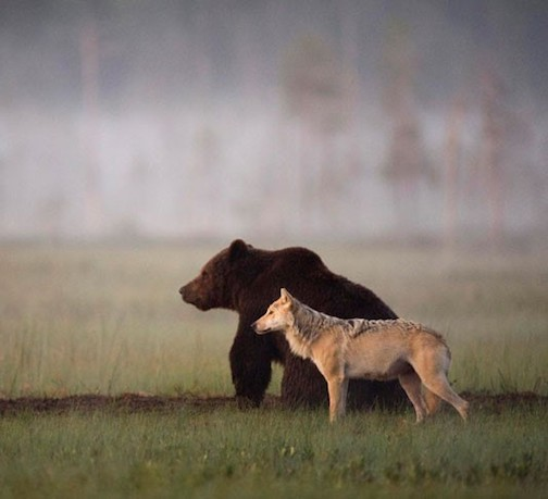 Finnish photographer Lassi Rautianen discovered this bear and wolf hunting together in Finland.