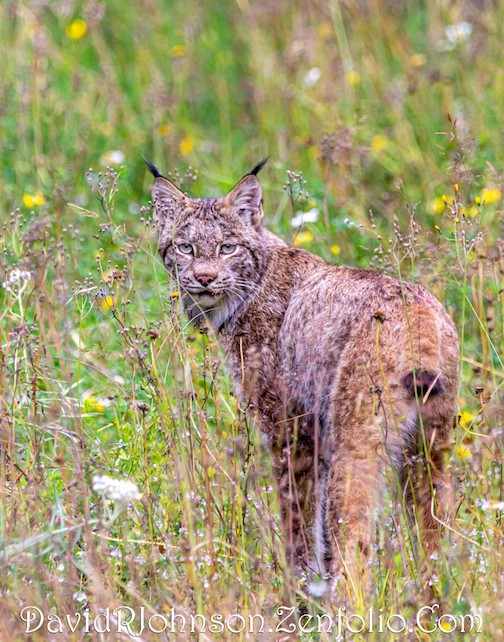 Lynx mama in tall grass by David Johnson.