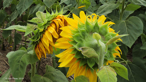 Sunflower Chat Room by Don Pleau.