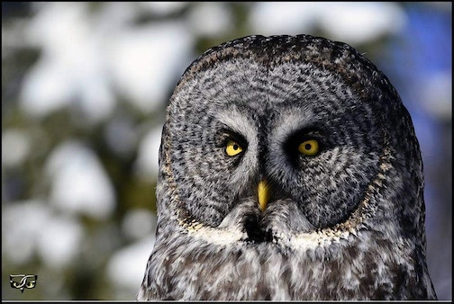 Great Gray Owl in the sun by Jeff Grotte.
