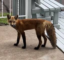 Our famous fox-around-town shaking off a nap at the Grand Marais Condos by Maryl Skinner.