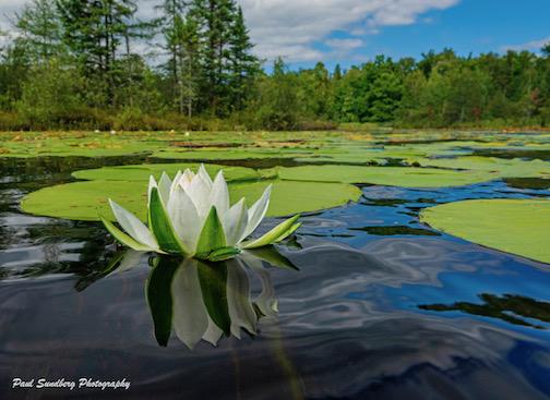 Fragrant Water Lily by Paul Sundberg.