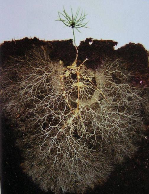 The root system of a 2-month-old tree by Amy Heline.