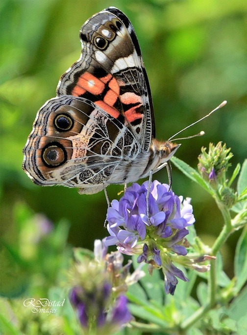 Beauty on a painted lady is inside and out by Roxanne Distad.