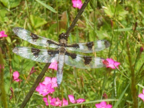 12-spotted Skimmer by the West End Garden Club.