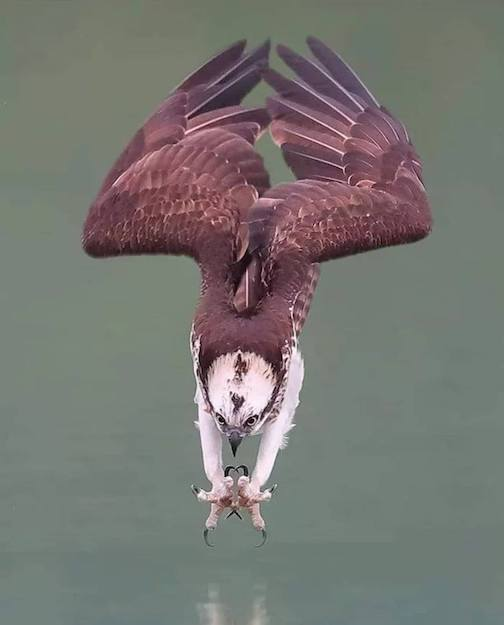 Osprey in a dive by Wilson Chen.