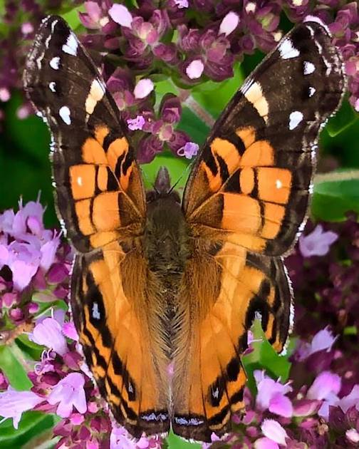Painted Lady with a ragged wing by Maryl Skinner.