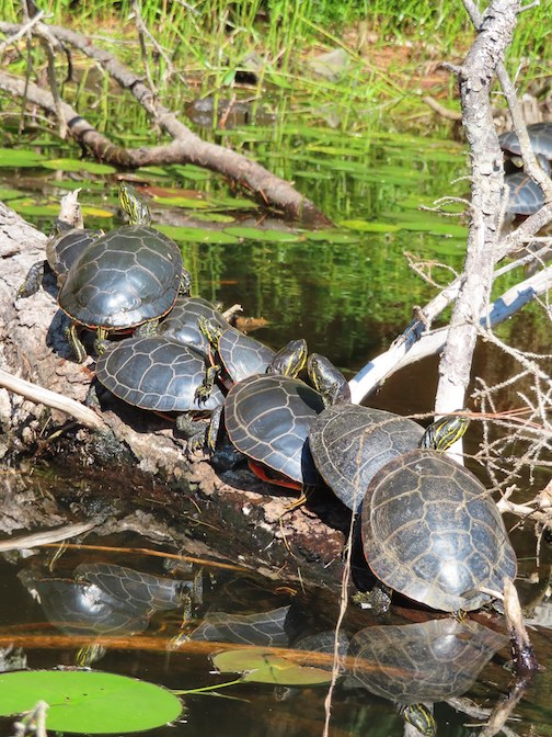 Turtles gathering to catch the sun's warmth, BWCAW by Nancy Mike-Johnson.