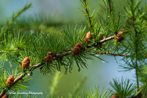 Tamarack cones by Paul Sundberg.