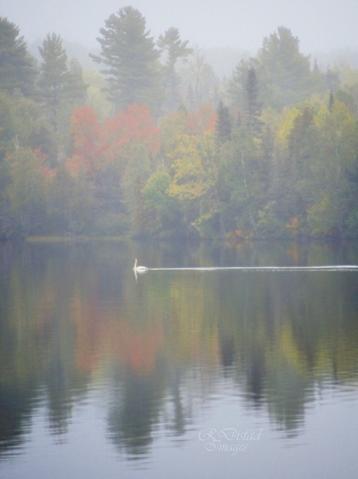 White swan in the mist by Roxanne Distad.