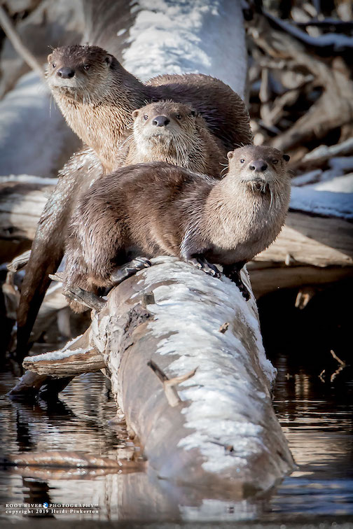 Otters in Yellowstone by Heidi Pinkerton.