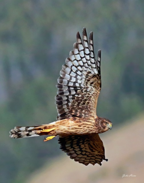 Flight of the Northern Harrier by John Heino.