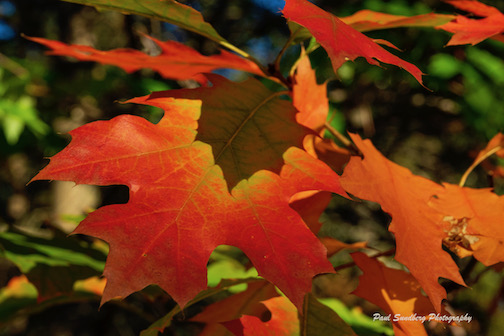A smaller leaf covers an oak leaf, by Paul Sundberg.