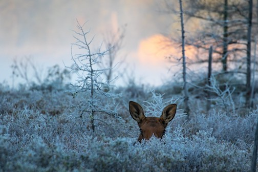 Chilly mornings have you poking your head out of bed: cow moose in the Superior National forest by Ryan Pennesi,