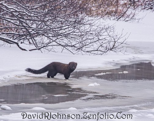 A Northwoods mink by David Johnson.