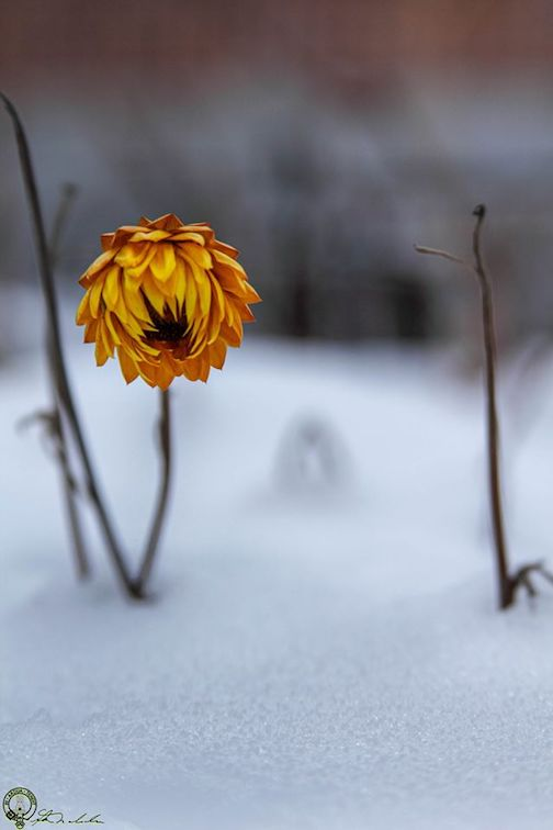 In denial, or the lonely life  of a late bloomer. Photograph by Don Malcolm.
