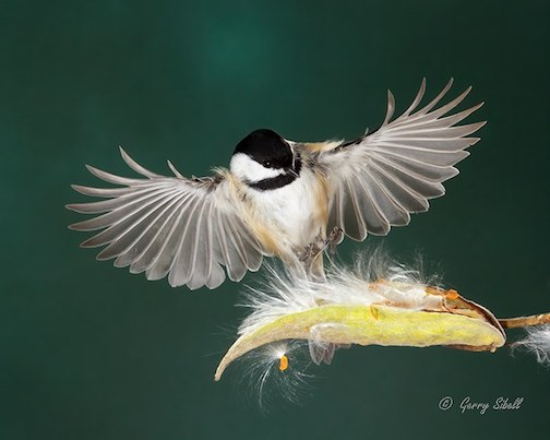 Black-capped Chickadee and milkweed by Sibell Fary.