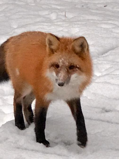 Our neighborhood fox, Tait Lake by Judi Barsness.