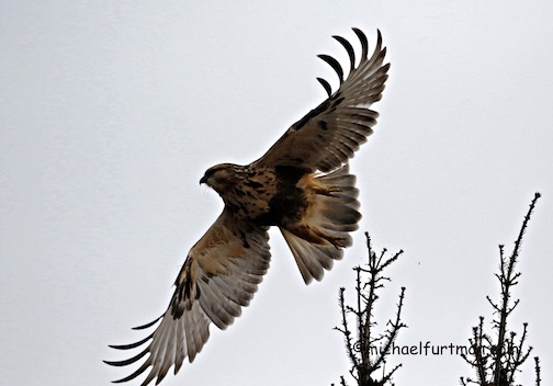 A cooperative Rough-legged Hawk by Michael Furtman.