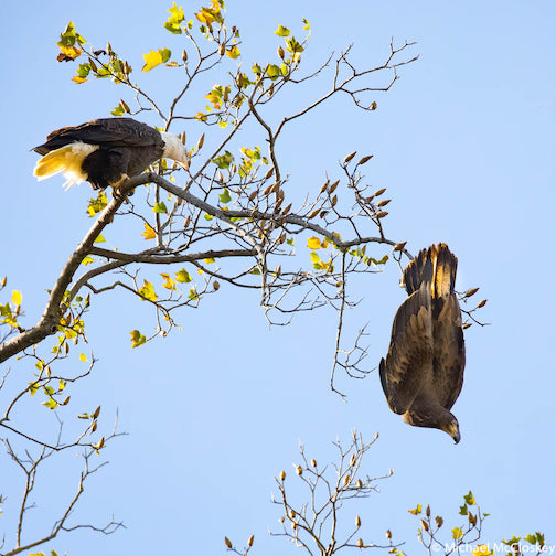Adolescent embarrassment. This young eagle picked the wrong branch to land on, but he held on anyway by Michael McCloskey.