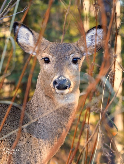 Town deer in the morning sun by Roxanne Distad.
