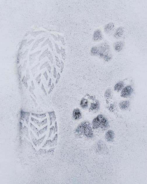 Wolf tracks by Travis Novitsky.