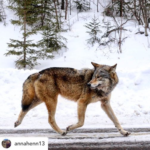 Wolf on the Gunflint Trail by @annahenn.