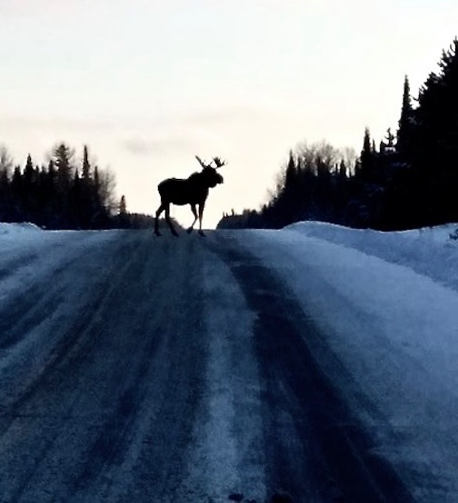 I had fun with this moose as it kept coming back to eat the salt by MaryJane Van Den Heuvel.