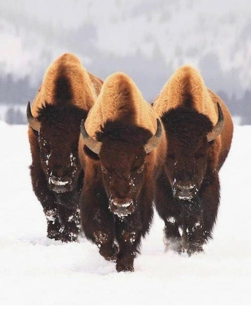 Buffalo, courtesy of Our Generation Black Hills He Sapa Wincouncage Okolakiciye.