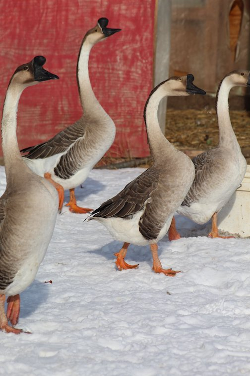 The geese are enjoying the balmy Christmas weather by Curt O'Quinn.