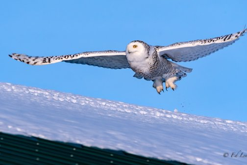 Today's snowy owl by Edward Lee.