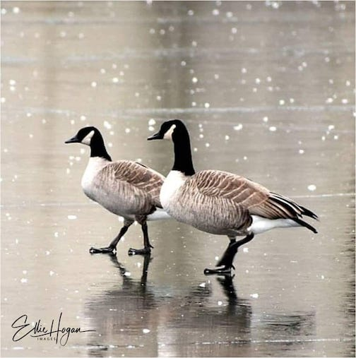 Walking carefully. Frost flowers and geese by Ellie Klaus Hogan.