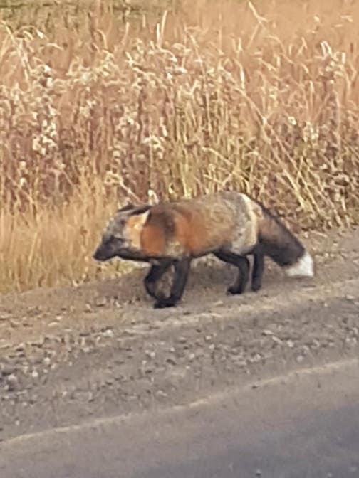 Cross fox by Erich Jacob Beck.
