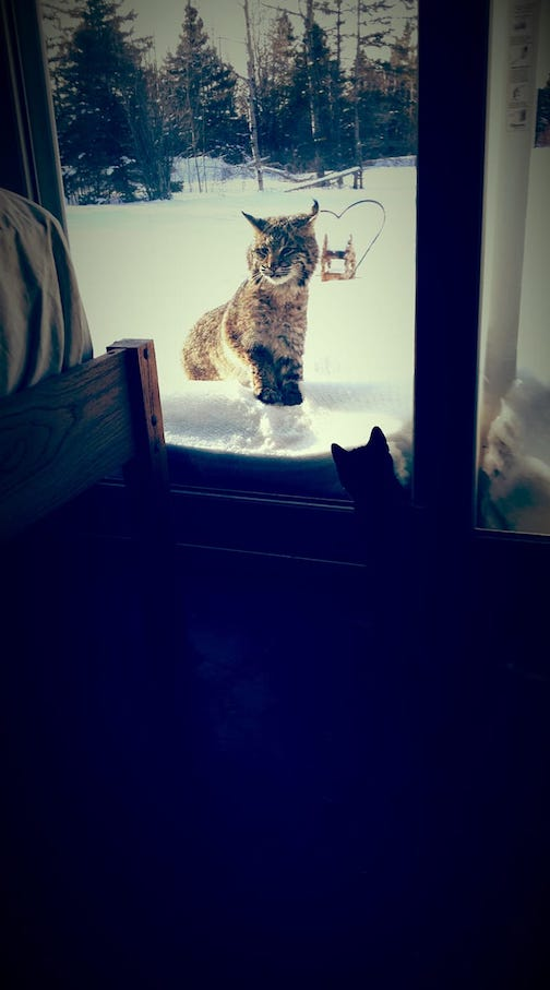 Bobcat looking in window to see what's up by Ken Hostetler.