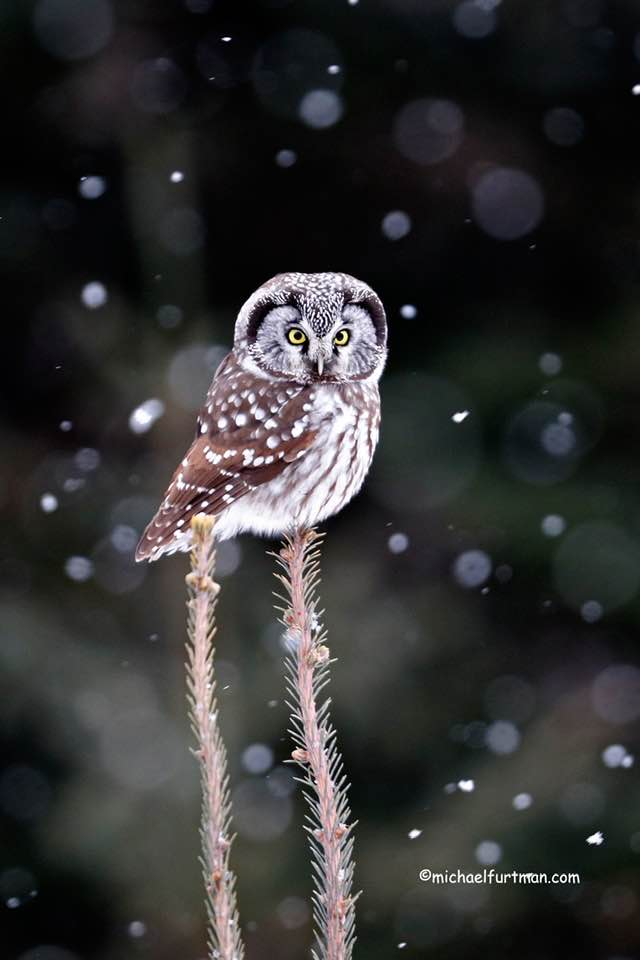 Boreal owl on a spruce tree by Michael Furtman.