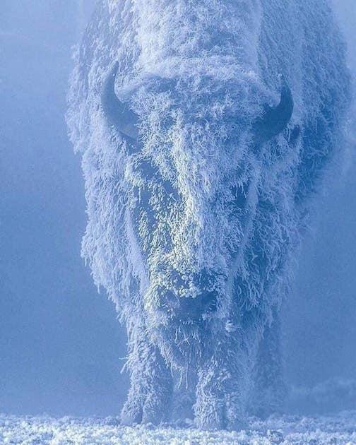 Yellowstone buffalo by Tom Murphy.