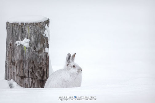 Snowshoe hare in the Sax Sim Bog by Heidi Pinkerton.