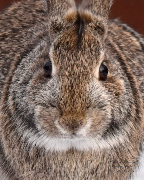 Cottontail in Duluth by John Woodward.