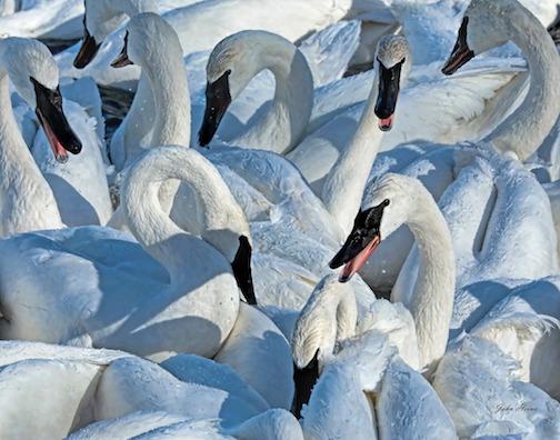 Swan scrum by John Heino.
