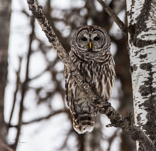 mark morgan barred owl