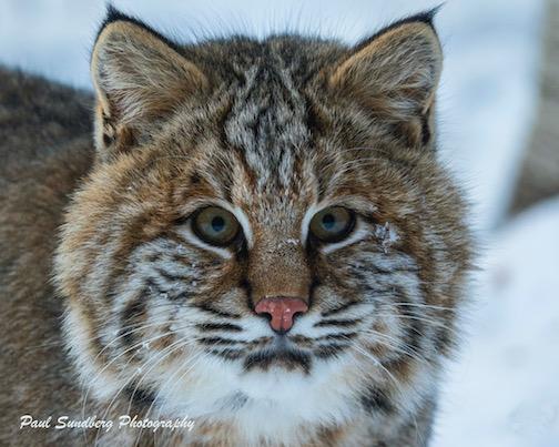 Bobcat by Paul Sundberg.