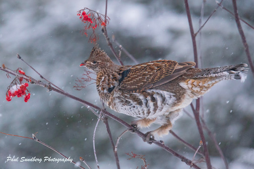 Ruffed grouse by Paul Sundberg.
