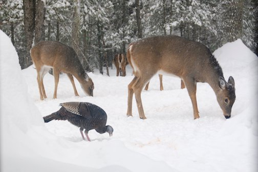 Deer and a wild turkey with the deer keeping a watchful eye by Sandra Updike.