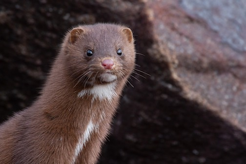 Mink at the Silver Bay Marina by Shawn Zimmerman.