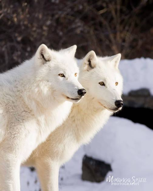 Axel and Grayson, International Wolf Center in Ely. Photography by Miranda Sibell.
