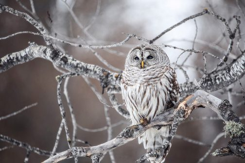 Barred Owl by Amy Louhela.